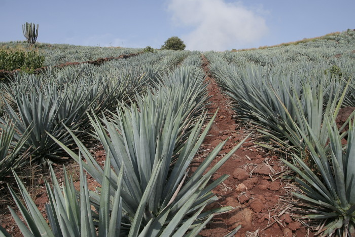 Blue Agave Field Tequila Jalisco